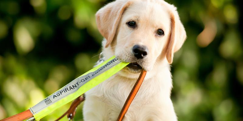 Gratis bij KNGF Geleidehonden puppy Reza volgen